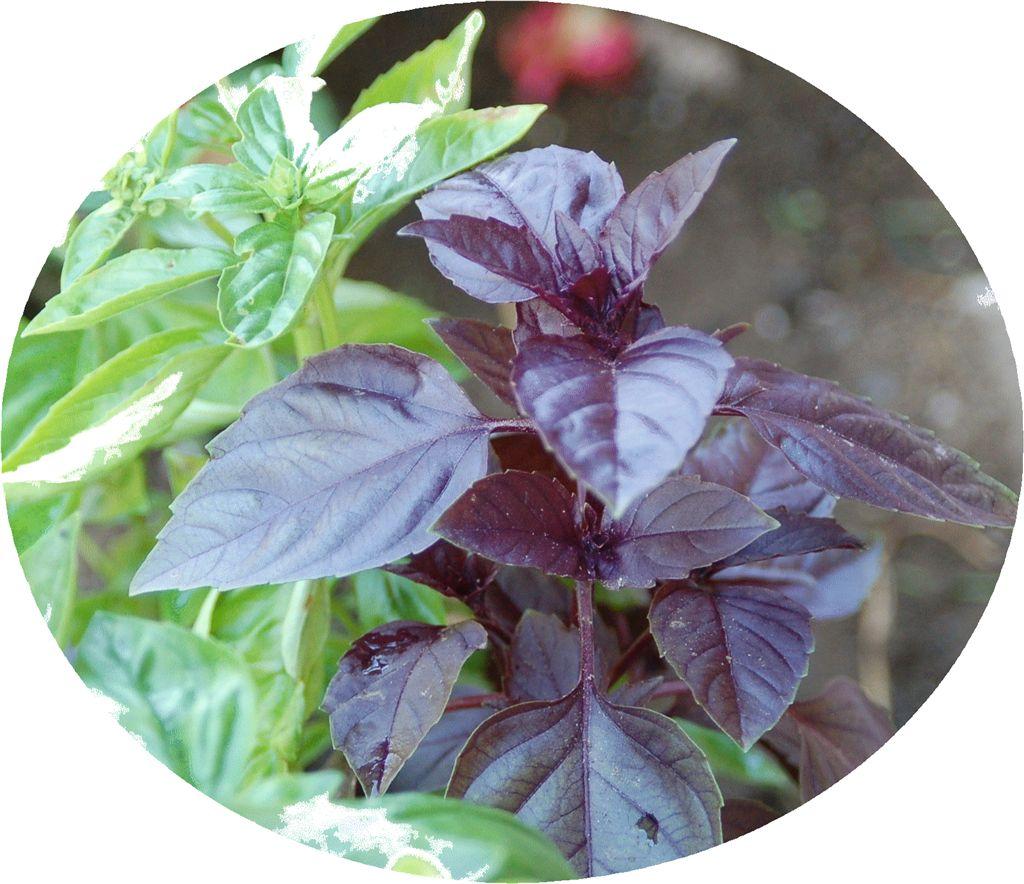 L 39 herbier gourmand le basilic petits trucs le - Basilic seche a ne pas consommer ...